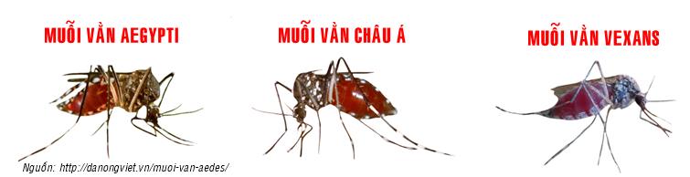 Các loại muỗi vằn Aedes