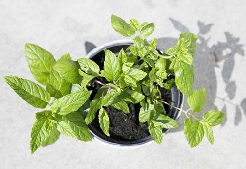 18 loại cây trồng và cây cảnh đuổi muỗi hiệu quả nhất