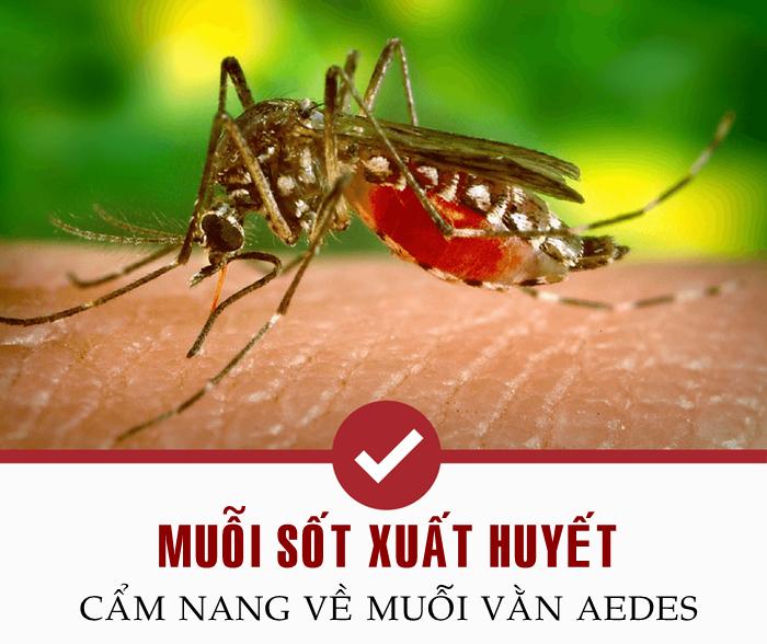 Muỗi vằn sốt xuất huyết (Aedes): Nhận biết & Phòng chống