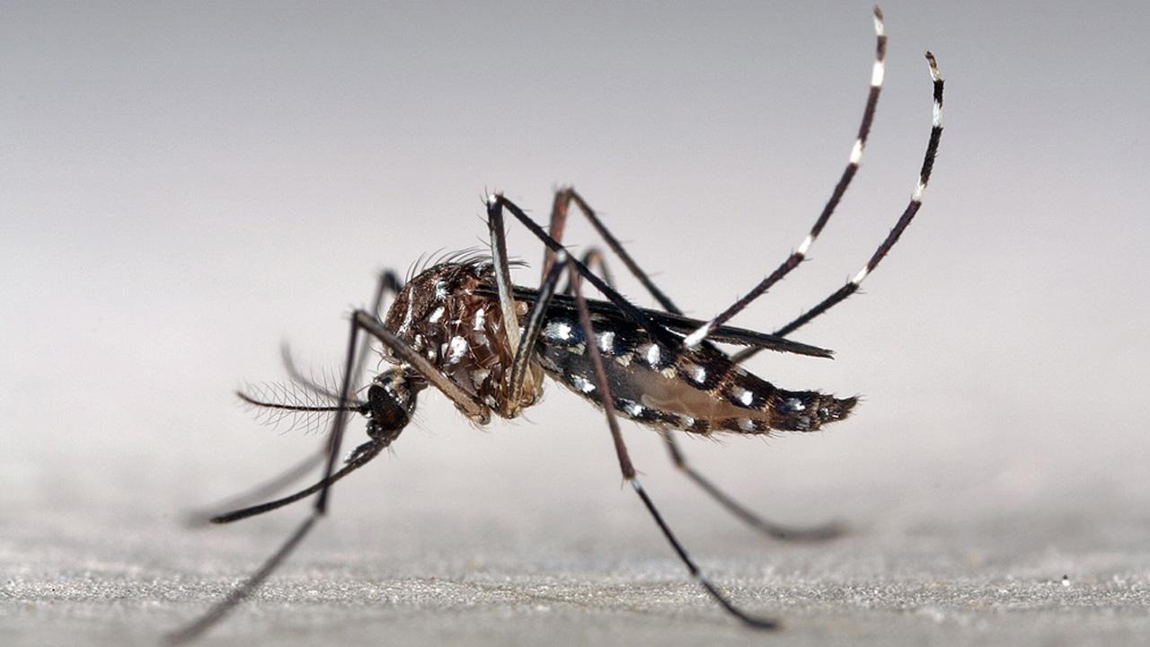 Tìm hiểu về loài muỗi - Muỗi vằn
