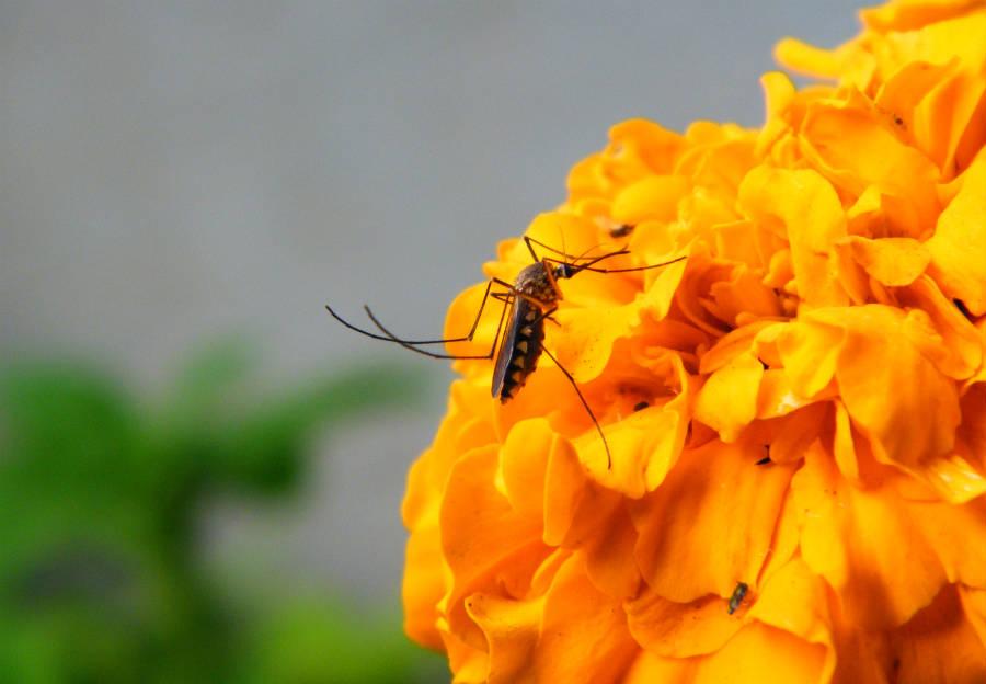 Tìm hiểu về loài muỗi - Muỗi đực