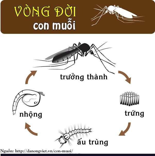 Tìm hiểu về loài muỗi - Vòng đời